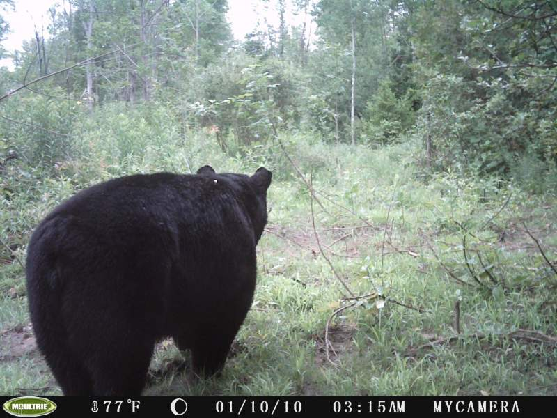 A trail camera placed on a route to a bait site snapped this picture of a fat Bruce County black bear near Wiarton Ontario.