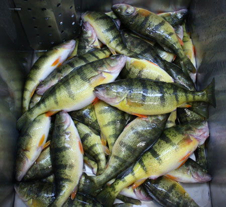 Anglers travel great distances to sample Lake Simcoe's renowned  Yellow Perch fishery.  Touted by many as the finest eating fish from Ontario waters.  This haul was recently caught from the western shore of the lake over safe ice conditions.